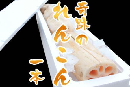 【送料無料】佐賀県産 お歳暮に 朝採りレンコン 奇跡の一本 佐賀県産の名産品れんこんは大地の美味しさをぎゅっと凝縮した自慢の蓮根